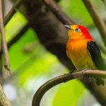Band-tailed Manakin - Green Tours Peru - Blue Sky Wildlife