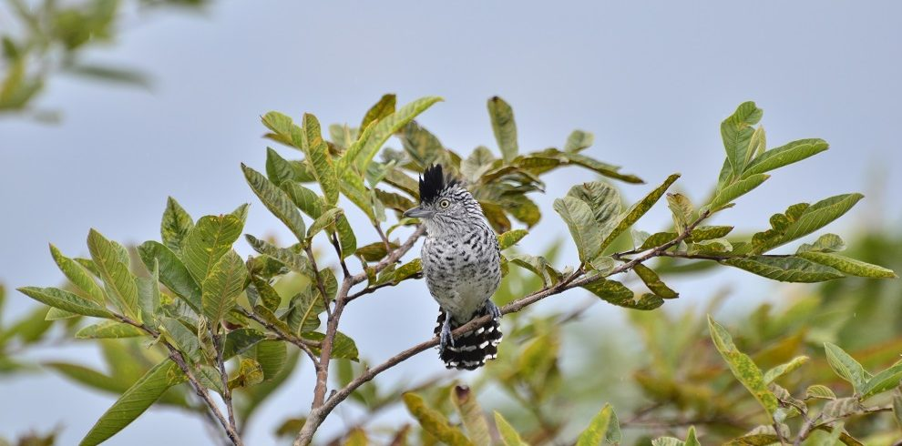 Barred Antshrike C