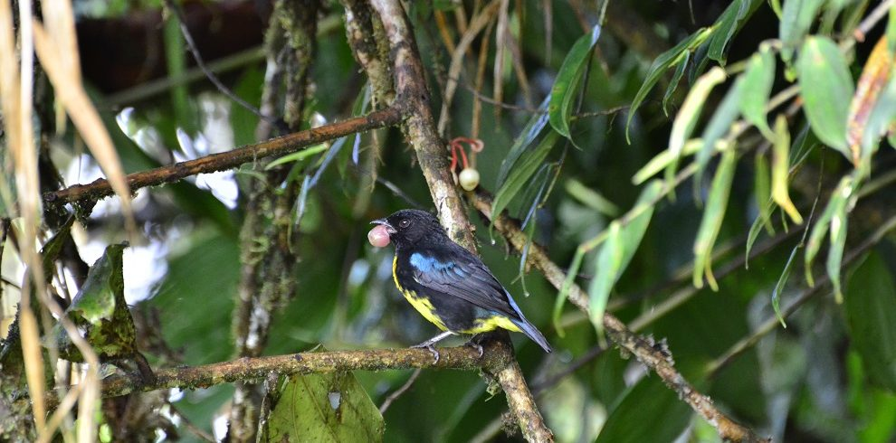 Black and Gold Tanager C