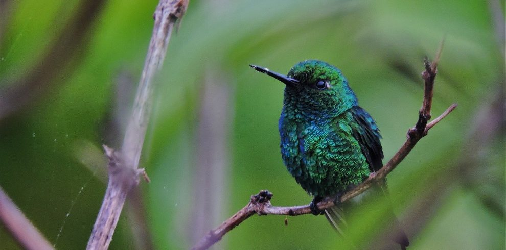 Blue-tailed Emerald C