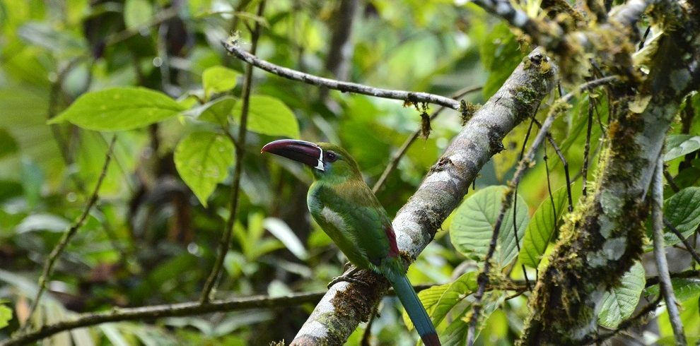 Crimson-rumped Toucanet C