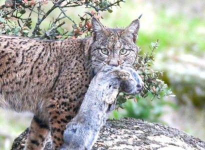 Iberian lynx and Conservation
