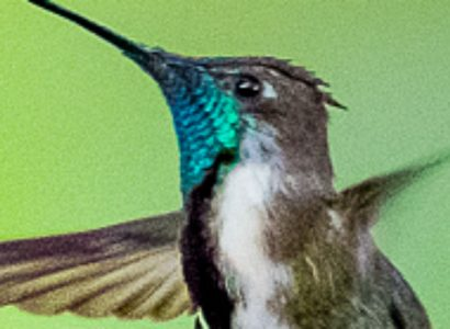 Marvellous-Spatuletail-5-Day-Get-Away-Tour