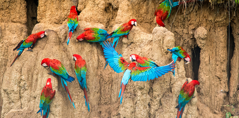 Macaws - Green Tours Peru - Blue Sky Wildlife