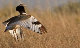 Displaying Little Bustard