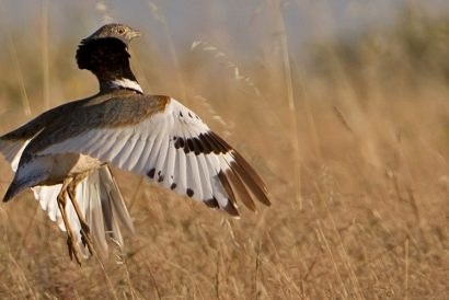 Birds of Extremadura Displaying Little Bustard