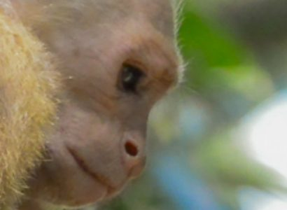 White throated Capuchin Monkey family opening a coconut