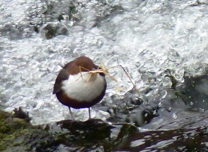 Dipper against water - bird watching north wales