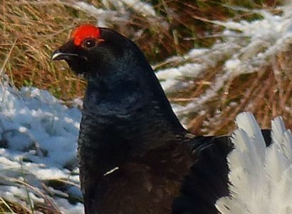 Black Grouse in snow, birdwatching Wales