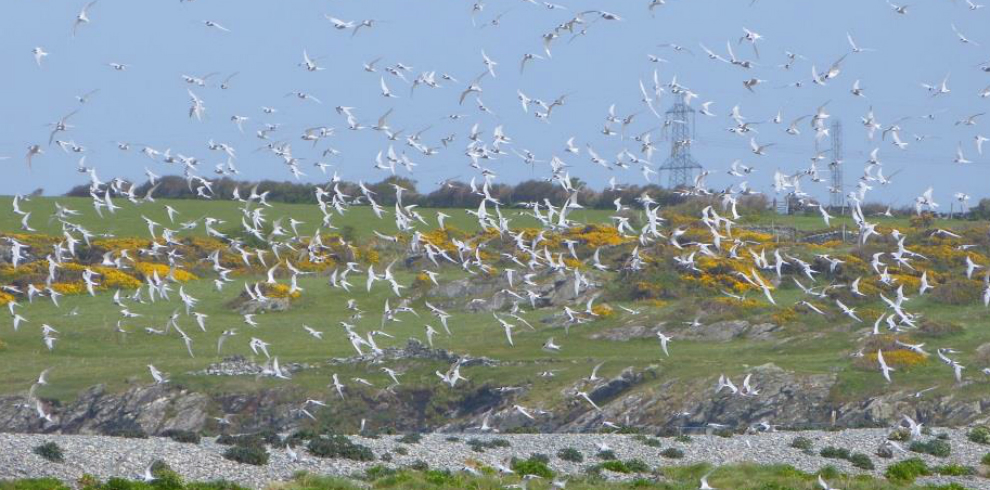Flock of terns flying against hillside Anglesey North Wales
