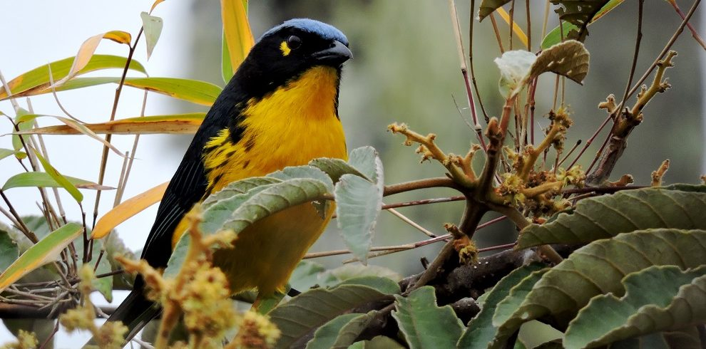 Santa Marta Mountain-Tanager C