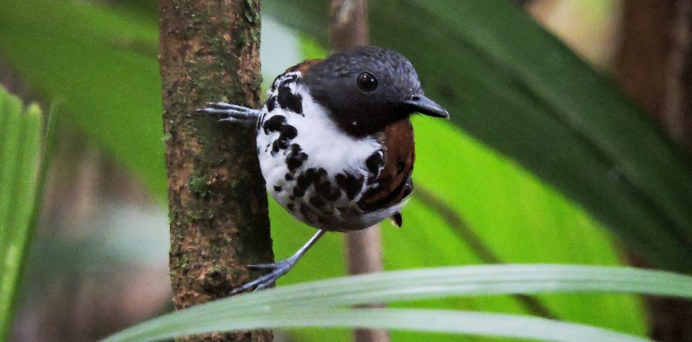Spotted Antbird C