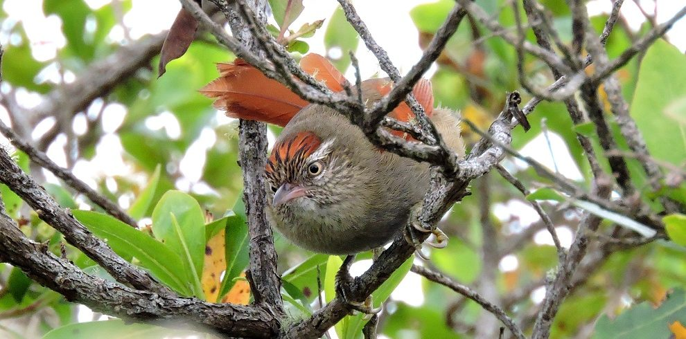 Streack capped Spinetail C