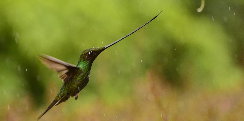 Sword-billed-Hummingbird C