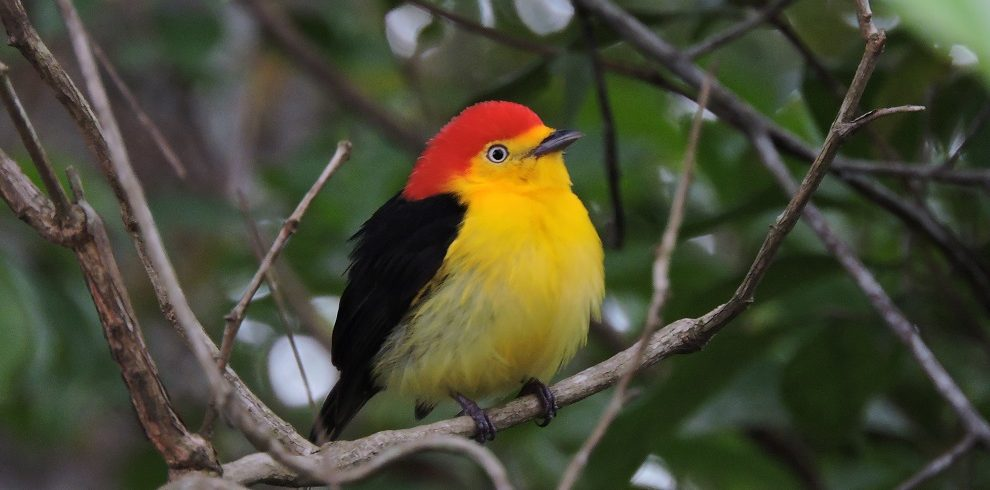 Wire-tailed Manakin c