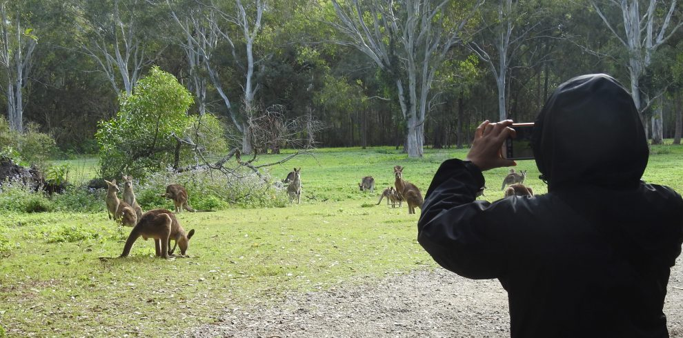 photo-kangaroos-Coombabah-mini