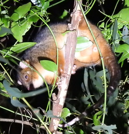 ringtail-possum-BINNABURRA-sq