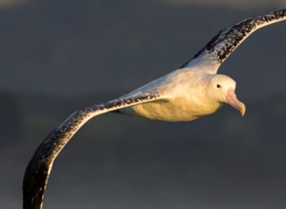 new-zealand-wandering-albatross