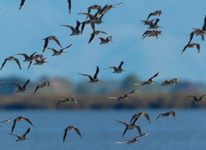 shorebird-flock-at-miranda