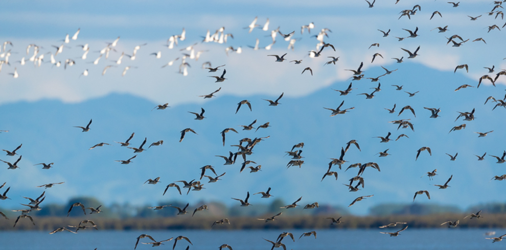 wrybill-birding-tours_shorebird-flock-at-miranda_blue-sky-wildlife – 990 x 490