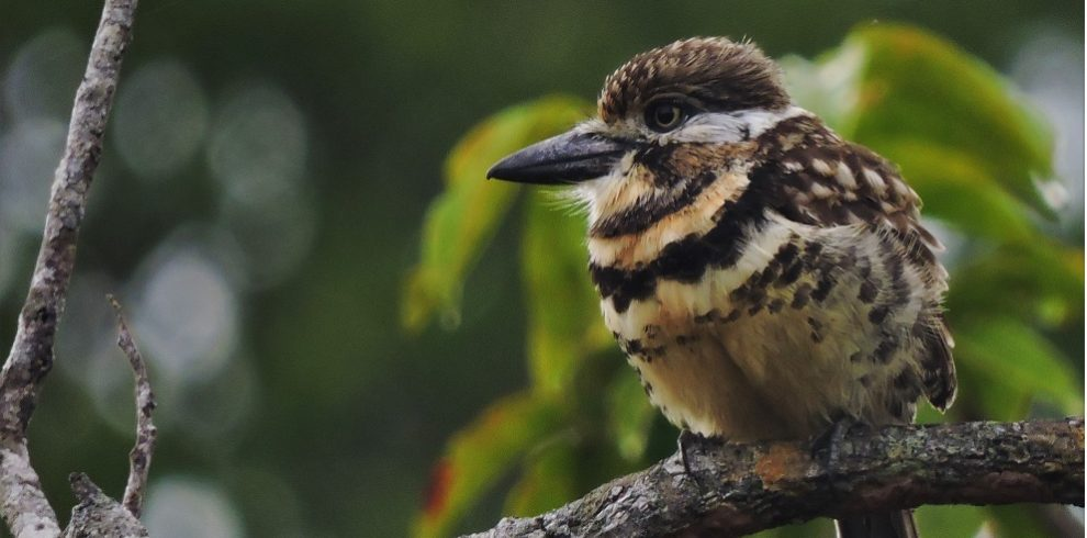 Double-banded Puffbird C