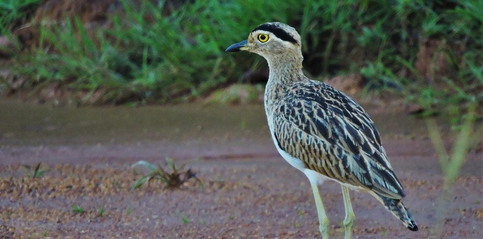 Double-banded Thick-Knee c