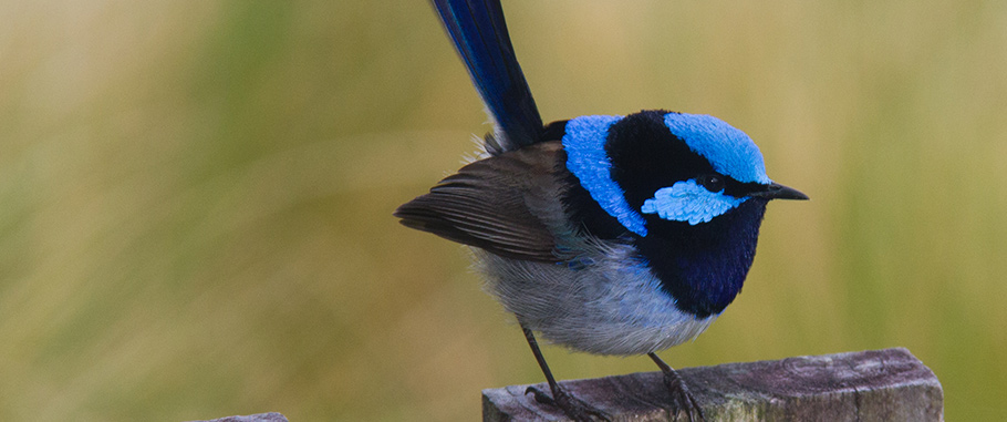 Superb Fairy-wren, Australia