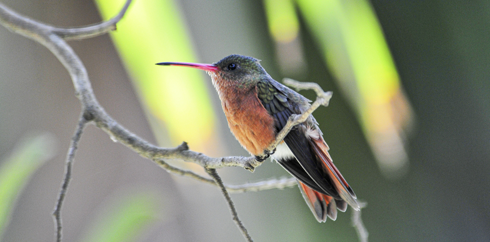 REnato Fernandez-Birding Highlands and Volcanoes-Cinammon Hummingbird 2009_03_01800-Gallery