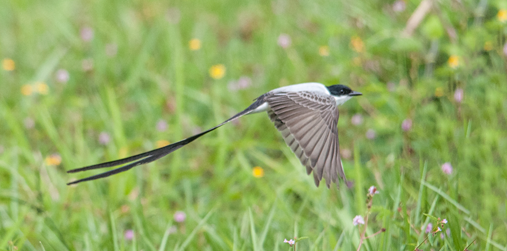 Renato Fernandez-Photography Tour Caribbean Slope Pt 2-Fork Tailed Flycatcher 2018_02_00498-Gallery