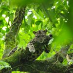 Borneon Clouded Leopard