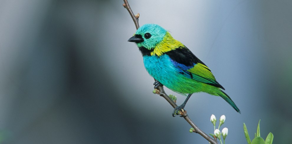 Green-headed Tanager © HR Goñi