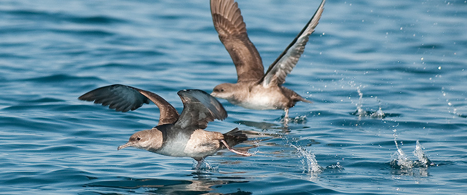 Balearic-Shearwater Menorca Walking Birds