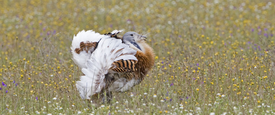 Great Bustard in Spain