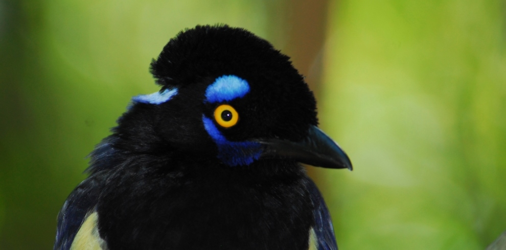 Plush Crested Jay © HR Goñi