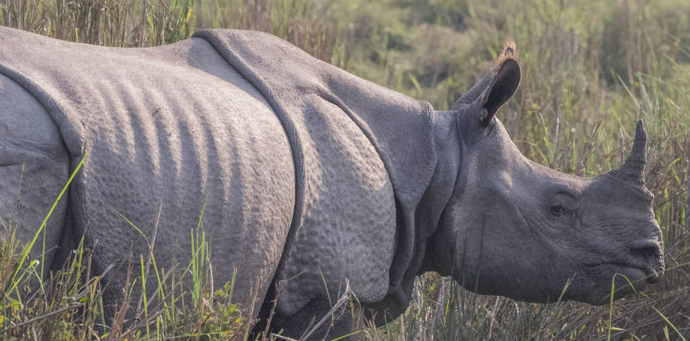 Greater-One-horned-Rhino