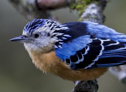 Beautiful-Nuthatch