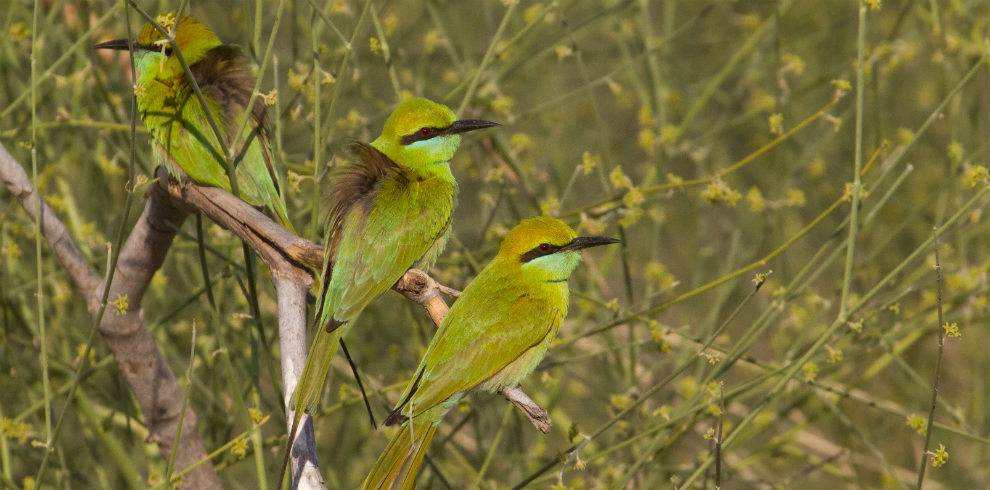 Green-Bee-eater