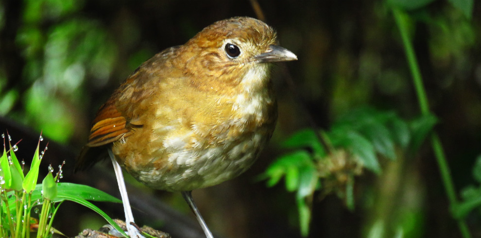 Brown-banded-antpitta-Colossal-tour