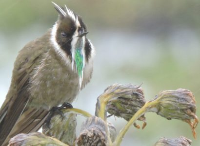 Green-bearded-helmetcrest