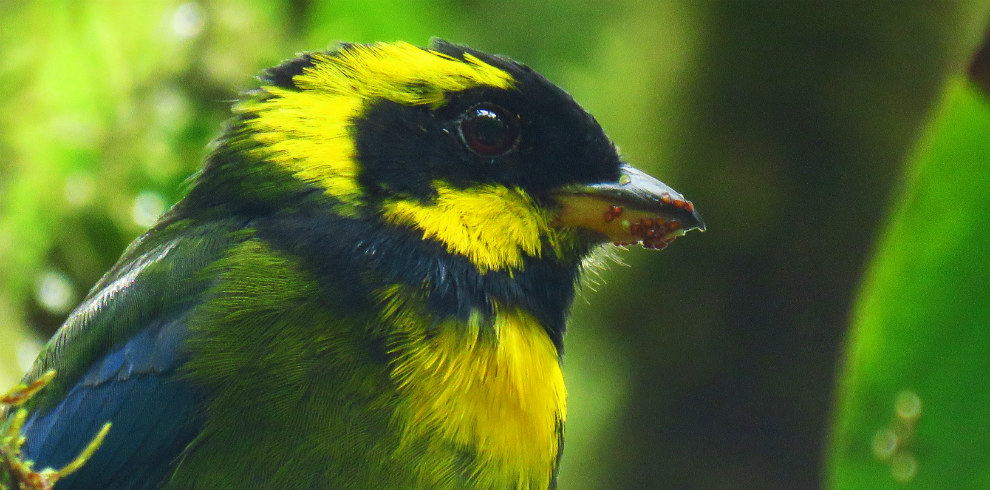 Gold-ringed-tanager