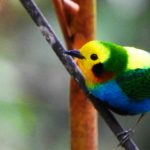 The-party-endemic-tour-Multicoloured-tanager