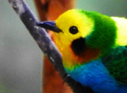 Multicoloured-tanager