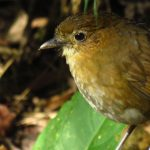 brown-banded-antpitta