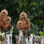 Borneo Nature Tours – Christina Lam – Red Leaf Monkey – Blue Sky Wildlife