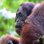 Borneo Nature Tours – Christina Lam – Orangutan – Blue Sky Wildlife