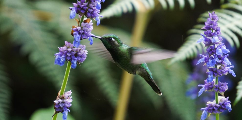 Emerald- chinned Hummingbird