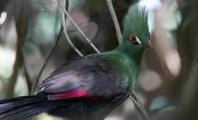 Birding Africa - The Turaco