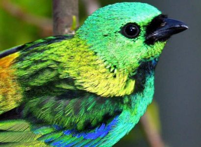 Green-headed-Tanager