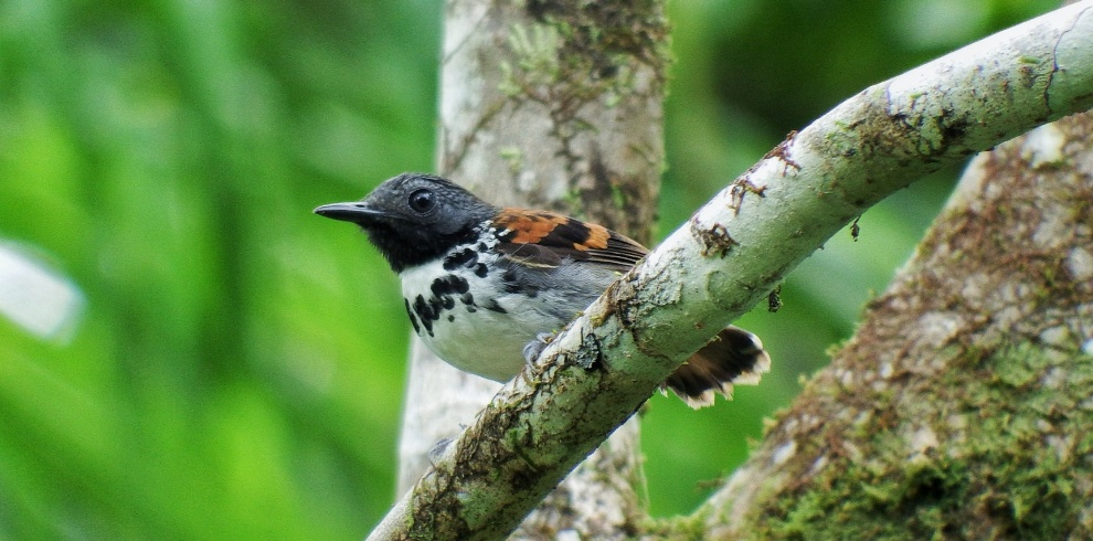 Gilberto Flores-Walter – Feathers Birding – Spotted Antbird – Blue Sky Wildlife