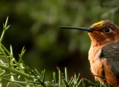 Cusco birding - Giant Hummingbird